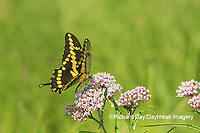 03017-01412 Giant Swallowtail (Papilio cresphontes) on Swamp Milkweed (Asclepias incarnata) Marion Co. IL