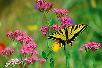 Western Tiger Swallowtail (Papilio rutulus) male on phlox, Summer.   Pacific Northwest.