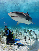 pk11538-D. Tiger Shark (Galeocerdo cuvier) and scuba diver (model released). Bahamas, Atlantic Ocean..Photo Copyright © Brandon Cole. All rights reserved worldwide.  www.brandoncole.com..This photo is NOT free. It is NOT in the public domain. This photo is a Copyrighted Work, registered with the US Copyright Office. .Rights to reproduction of photograph granted only upon payment in full of agreed upon licensing fee. Any use of this photo prior to such payment is an infringement of copyright and punishable by fines up to  $150,000 USD...Brandon Cole.MARINE PHOTOGRAPHY.http://www.brandoncole.com.email: brandoncole@msn.com.4917 N. Boeing Rd..Spokane Valley, WA  99206  USA.tel: 509-535-3489