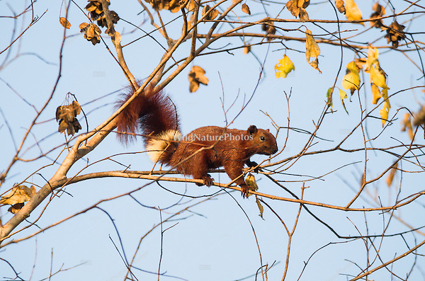 Variable Squirrel (Callosciurus finlaysonii) climbing tree branches. (Prey Veng, Cambodia)
