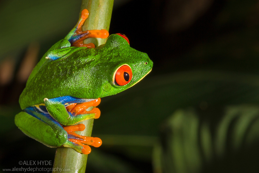 Red-eyed Leaf Frog male {Agalychnis callidryas} Central Caribbean foothills, Costa Rica. May.
