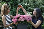 Foto: VidiPhoto<br /> <br /> WAGENINGEN &ndash; De bekende weervrouw van RTL, Amara Onwuka (l) uit Wageningen, heeft sinds dinsdag haar eigen hortensia. Ze mocht de nieuwe, roze tuinplant met de botanische naam Hydrangea macrophylla &lsquo;Amara&rsquo;, zelf &lsquo;dopen&rsquo;. Hortensia Amara is een compacte tuinplant met veel opvallen veel bloemschermen die opgebouwd zijn uit kleine, stevige bloemetjes. Een plant met potmaat 14 heeft gemiddeld bijna 30 bloemschermen, bijna vier keer zoveel als een standaardhortensia. In mei zijn de bloemschermen nog groen-roze, maar in de zomermaanden kleuren deze naar felroze. De plant bloeit tot diep in het najaar. De hortensia &lsquo;Amara&rsquo; is ontwikkeld door veredelingsbedrijf Horteve-Kolster uit Aalsmeer. Volgens veredelaar Suzanne Hesemans (r) moest bij de elegant ogende hortensia een passende naam gezocht worden en daarbij kwam het bedrijf al snel uit bij Amara. Een krachtige vrouw met een positieve en vrolijke uitstraling. Naar verwachting zal de nieuwe hortensia vanaf voorjaar 2019 verkrijgbaar zijn. De Wageningse Amara Onwuka is meteoroloog en sinds 2013 een van de vaste presentatoren van Buienradar en RTL Weer. In 2015 won zij het survivalprogramma Expeditie Robinson.