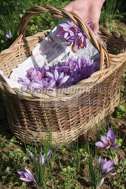 Europe/France/Midi-Pyrénées/46/Lot/Larnagol: récolte des fleurs de safran dans la safranière de Madame Angé à Larnagol  // France, Lot, Larnagol, Madame Ange's saffron plantation, harvesting of Crocus sativus flowers where saffron is extracted