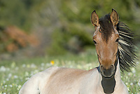 Wild Horse or feral horse (Equus ferus caballus).  Western U.S., summer.  Younger two year old mare.