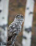 Great gray owl perched in aspen tree with fall colors. Grand Teton National Park, Wyoming.