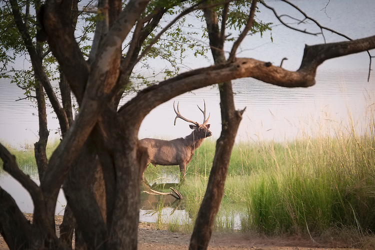 Within the 98,800 acres of Ranthambhore national park, the distinctive barking of this deer often warns of the presence of a tiger nearby.