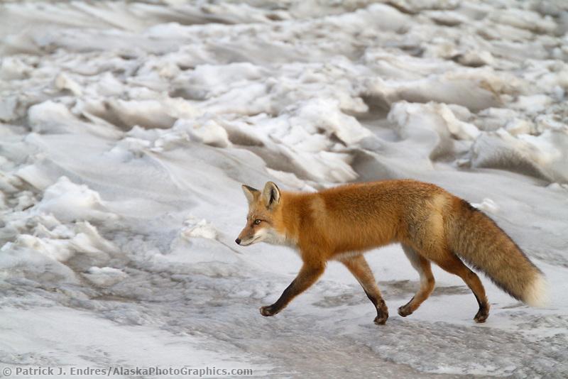 Red fox on Alaska's frozen tundra, arctic, Alaska.