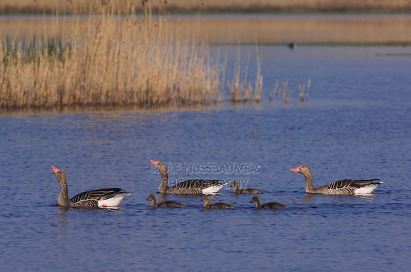 Greylag Goose, Anser anser, adults with young,National Park Lake Neusiedl, Burgenland, Austria, Europe