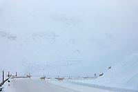 Dall sheep cross the James Dalton Highway, Atigun Pass, Brooks Range, Alaska.