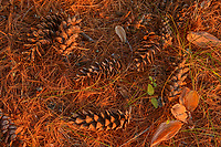 Cones and needles of white pine trees at sunset (Pinus strobus)<br />