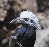 Long-tailed Hornbill, Tropicrancus Albocristatus. Central Africa