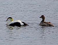 Common eider pair