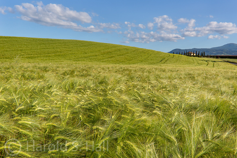 Tuscany is well known for the rolling hills of wheat.  Cypress trees can be seen at a nearby farm house.  Here I have tried to capture the detail of the wheat stalks and the feel of the countryside.