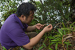 Liu Qiang at Yin Chang, one of the hugely biodiverse limestone karst rainforest remanants in Xishuangbanna China, as part of a survery by team members of XTBG. In just one day in this newly explored site 23 orchid species were recorded. This included many flowering examples of Flickingeria calocephala, a species that flowers only one day per year. Group leader, Liu QIANG, had never before seen this species flower in his 10 years study of this regions orchids.