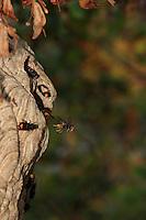 The exit of an Asian hornets ' nest ensconced ten meters from the ground. The nest is made of bark and soft wood; the pieces are chewed, saturated with water, saliva, and molded with the mandibles.///Sortie d'un nid de frelons asiatiques installé à plus de dix mètres du sol. Le nid est constitué d'écorces et de bois tendre; les morceaux sont mâchés, imbibés d'eau, de salive, pétris grâce aux mandibules.