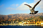 Flying gull near Catalina, California