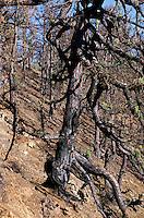 Spanien, Kanarische Inseln, La Palma,  verbrannte Kiefer
