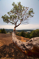 Madrona Tree (Arbutus menziesii) on Young Hill, San Juan Island, Washington, US
