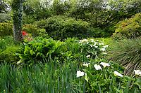 France, Manche (50), Saint-Germain-des-Vaux, Jardin en Hommage à Jacques Prévert, arum d'Ethiopie, lysimaque...