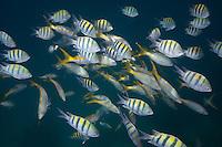 Mixed school of Yellowtail and Sergeant Major fish. Florida Keys National Marine Sanctuary, Islamorada