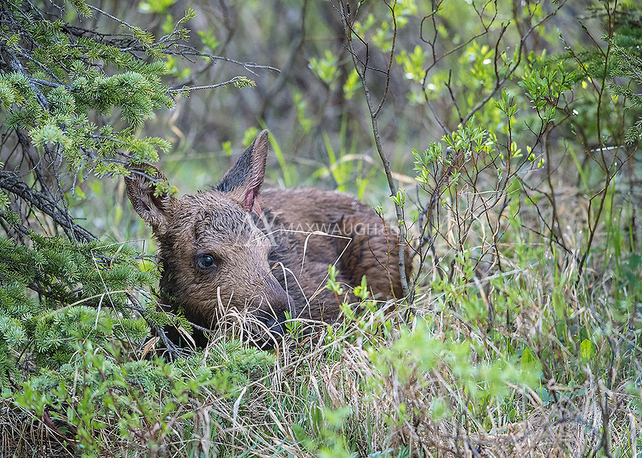 A moose calf huddles in the brush near the banks of Soda Butte Creek.