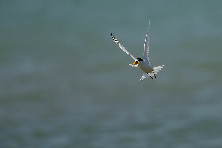 Little Tern Sterna albifrons L 24cm. Tiny, pale tern that hovers before plunge-diving after fish and shrimps. Sexes are similar. Adult in summer has grey back and upperwings, mainly black cap, and otherwise white plumage. Note black-tipped yellow bill and yellow-orange legs. In flight, wingtips are dark. Non-breeding plumage (acquired from late summer onwards) is similar but forehead becomes white and leg and bill colours darken. Juvenile is similar to winter adult but back looks scaly. Voice Utters a raucous cree-ick call. Status Local summer visitor with scattered coastal colonies on shingle and sandy islands and beaches.