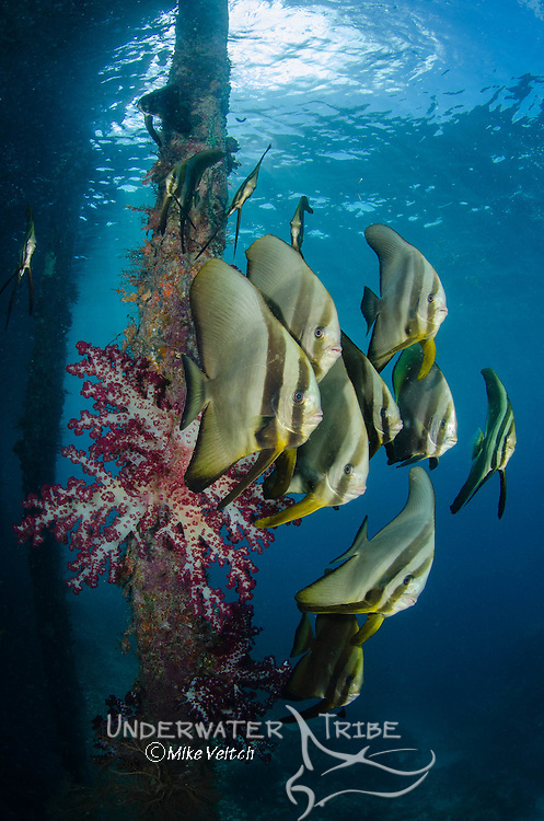 A school of longfin spadefish or batfish, Platax teira, with soft corals under the pier at Arborek Island, Dampier Strait, Raja Ampat, West Papua, Indonesia, Paciific Ocean