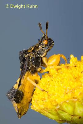 AM01-651z  Ambush Bug, male on tansey flowers, Phymata americana