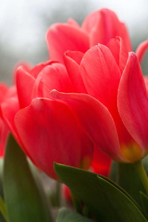 Tulip (Tulipa 'Dreamboat'), glasshouse, mid March.