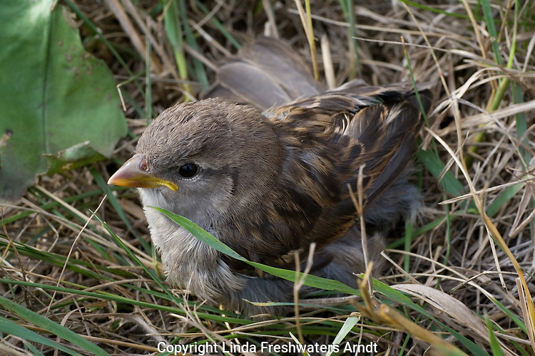 Young house sparrow (Passer domesticus) drying off after falling in a kiddie pool