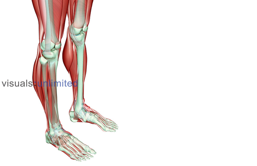 A superior anterolateral view (right side) of the musculoskeleton of the legs. Royalty Free