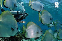 Woman diving with School of Batfish  (Licence this image exclusively with Getty: http://www.gettyimages.com/detail/88015543 )