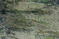 Fluss-Barbe, Flussbarbe, Barbe, Barben schwimmen stromaufwärts in einem klaren Bach, Barbenregion, Barbus barbus, Barbel