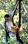 Spider Monkey, Ateles geoffroyi, hanging from tree by arm and prehensile tail, tropical jungle