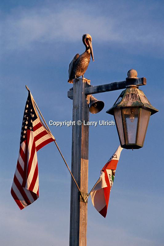 Brown pelican<br /> Stearns Wharf<br /> Santa Barbara<br /> California