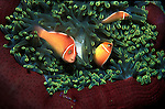 Pink Clownfish  - Amphiprion Perideraion.in anemone. Great Barrier Reef, Queensland Australia