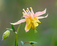 Yellow mountain columbine, Yellow columbine or Golden columbine (Aquilegia flavescens).  Rocky Mountains, June.