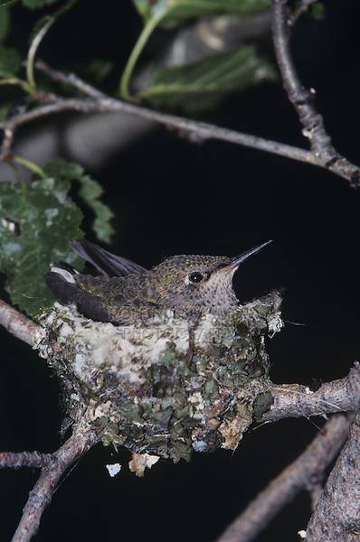 Broad-tailed Hummingbird (Selasphorus platycercus), young in nest, Rocky Mountain National Park, Colorado, USA