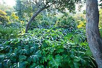Le domaine du Rayol en f&eacute;vrier : fait rare, il a neig&eacute; sur le jardin, ici le jardin australien avec une ambience de sous-bois &amp; grandes feuilles d'acanthes.<br /> <br /> (mention obligatoire du nom du jardin &amp; pas d'usage publicitaire sans autorisation pr&eacute;alable)