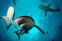 GREAT HAMMERHEAD SHARK  Sphyrna mokarran  BAHAMAS. predator dangerous menacing deadly hazardous cartilaginous horizontal underwater fish teeth underwater danger