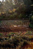 Farmer hand-spraying his seedling crop in late afternoon light. Da Lat, Vietnam