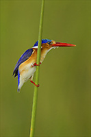 Malachite Kingfisher, Botswana, Africa, Little Vumbra,.Cor