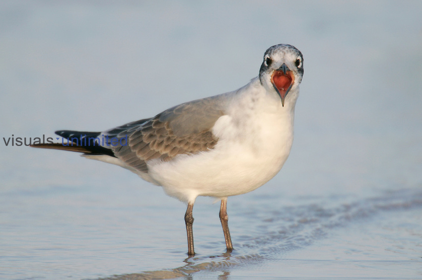 Franklin's Gull in first winter plumage calling ,Larus pipixcan, Florida, USA.
