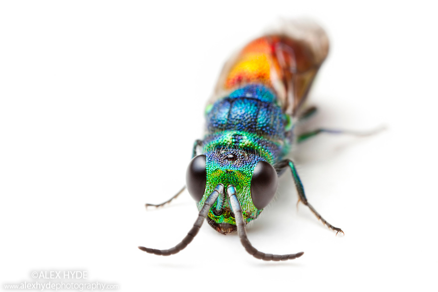 Ruby-tailed wasp / Cuckoo wasp {Chrysis ignita} photographed on a white background. Derbyshire, June.