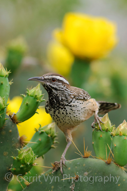 Adult Cactus Wren (Campylorhynchus brunneicapillus) of the subspecies C. b. couesi. Hidalgo County, Texas. March.