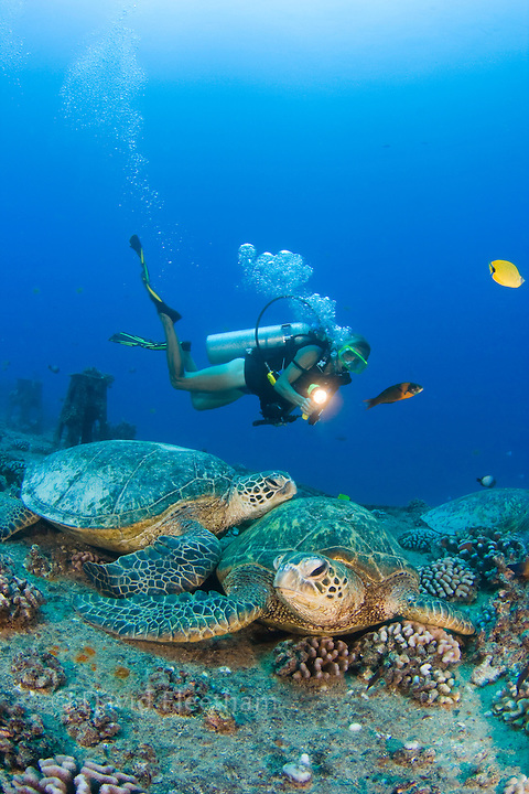 A diver (MR) and green sea turtles, Chelonia mydas, on the wreck of the YO-257 off Waikikik Beach, Oahu, Hawaii.