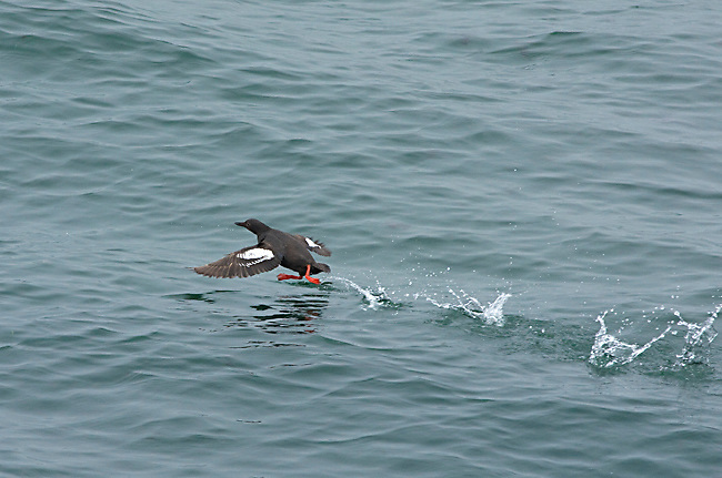 Pigeon Guillemot (Cepphus columba), taking flight from water, Santa Cruz, California, USA