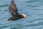 USA, Alaska, Glacier Bay National Park, tufted puffin in flight (Fratercula cirrhata)