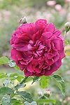 THE DARK LADY ROSE, ROSA HYBRID, MODERN SHRUB BRED BY DAVID AUSTIN