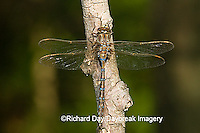 06364-00116 Springtime Darner (Nasiaeschna pentacantha) male, Marion Co  IL